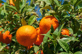 Oranges growing on a tree - Stock Image
