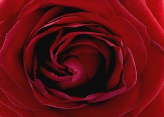 Rose rouge de face proche