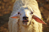 closeup of sheep face