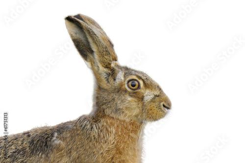 Brown hare portrait - 61751313