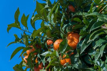 Tangerin tree