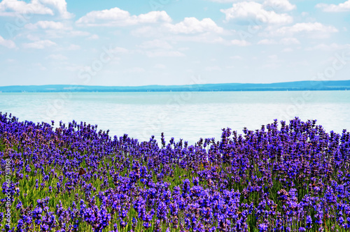 Lavender at Lake Balaton,Hungary - 61753168
