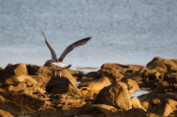 Seagull in the beach rocks in a sunny day