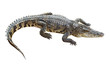 Wildlife crocodile isolated on white with clipping path - 61755732