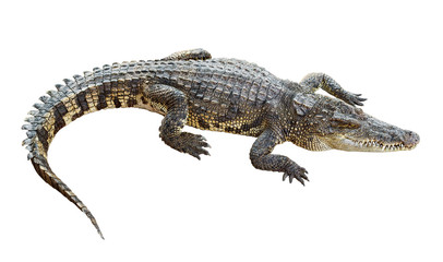 Wildlife crocodile isolated on white with clipping path