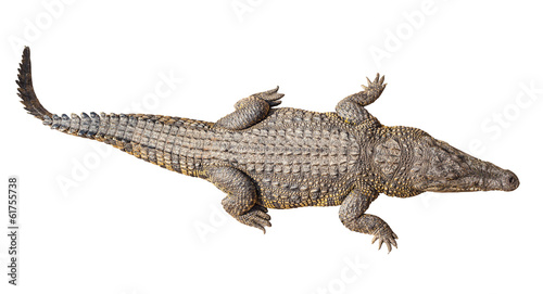 Fotobehang Krokodil Wildlife crocodile isolated on white with clipping path