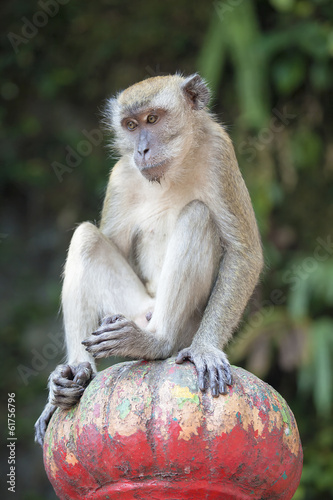 Macaque Monkey Sitting on Top