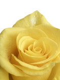 Yellow rose and water drops