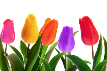 Isolated spring tulips