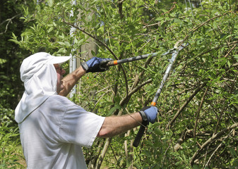 Man Using Long Shears to Prune a Bush