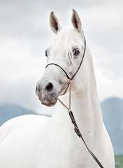 portrait of white purebred arabian stallion