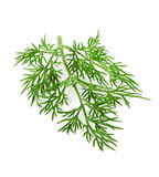 dill herb isolated on white background