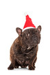 Studio shot of a bulldog with a santa hat