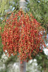Red Palm Tree Berries