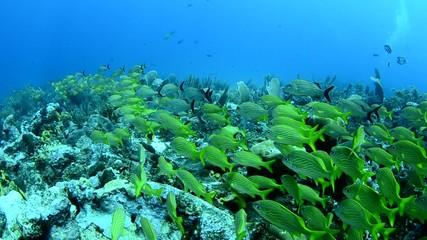 Grunts and snappers, caribbean sea