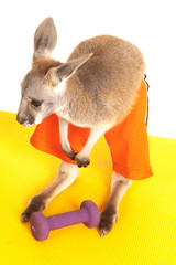 Kangaroo in shorts by a workout weight