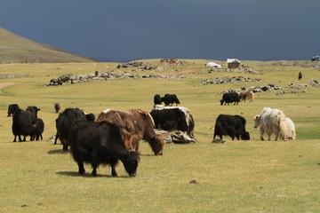 Yak in der mongolischen Steppe