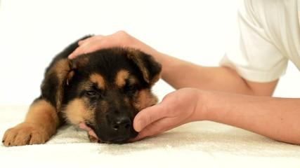 German Shepherd puppy in human hands