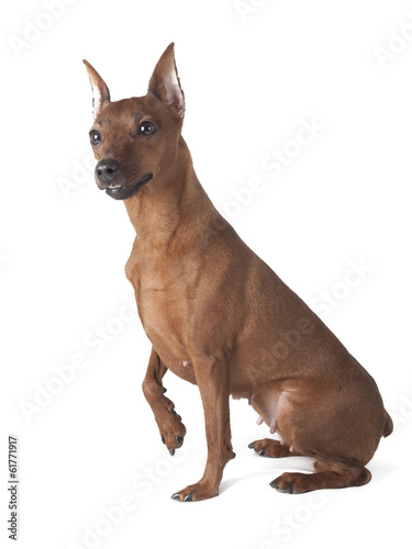 pinscher on a white background in studio