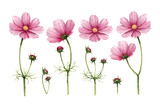 Fototapety Cosmos flowers collection. Watercolor illustrations