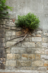 Lone bush with long and strong roots growing at a wall