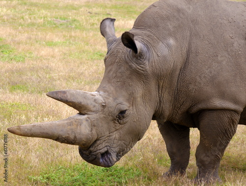 rhino in nature