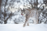 Lynx walks in the cold winter forest