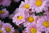 Light Pink chrysanthemum