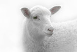 White lamb desaturated on light background
