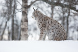 Lynx siitting in snow and looking