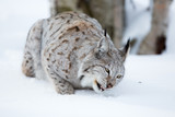 Close up of lynx eating meat