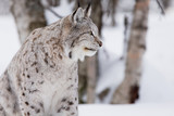 Proud lynx in forest