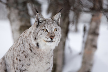 Proud lynx in a winter forest