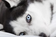 Close up of the siberian husky's eyes