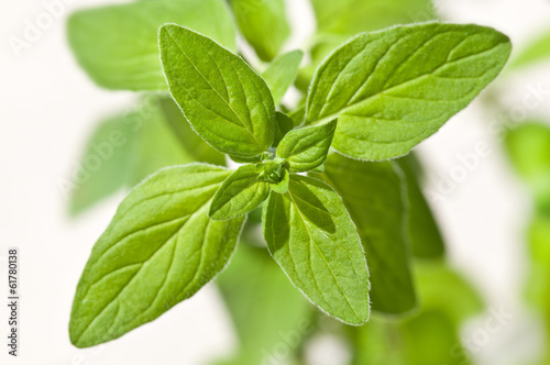 canvas print picture Oregano 10455.jpg