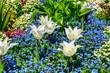 Weisse Tulpen und Vergissmeinnicht