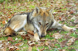 Brown wolf sitting on the ground