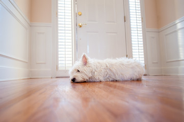 Dog waiting at the front door