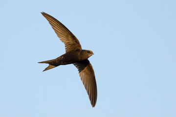 Swift in flight on blue sky background