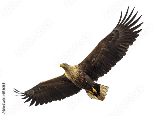 Staande foto Eagle Huge eagle in flight isolated on white