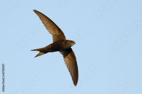 Swift in flight on blue sky background - 61786387