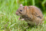 Cautious Brown rat in the wild