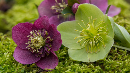 Purple and green helleborus flowers