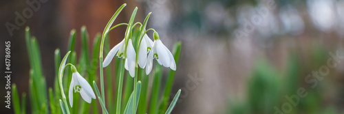 Snowdrops panorama banner