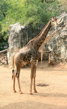 giraffa or giraffe in the zoo