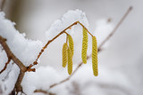 Hazel in form of catkins during winter