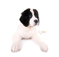 Liegender Hundewelpe