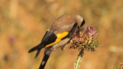 European Goldfinch feeding on a thistle