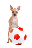 Little dog with a football ball