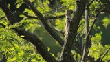 European Green Woodpecker perched on a tree